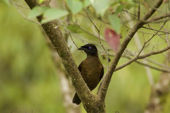 A Female Lawes's Parotia Bird of Paradise Foraging-Tim Laman-Photographic Print