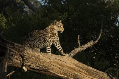 A Female Leopard in a Tree-Bob Smith-Photographic Print
