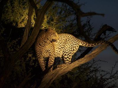 A Female Leopard, Panthera Pardus, Treed by Wild Dogs at Dusk-Bob Smith-Photographic Print
