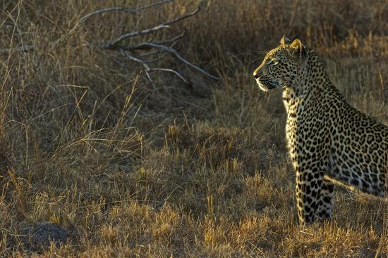 A Female Leopard Secures an Area from Predators for Her Cubs to Sleep-Steve Winter-Photographic Print
