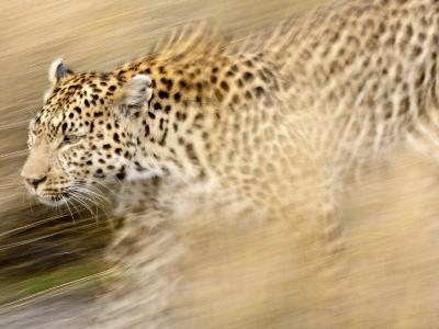 A Female Leopard Stalking Her Prey in Blurred Motion.-Karine Aigner-Photographic Print