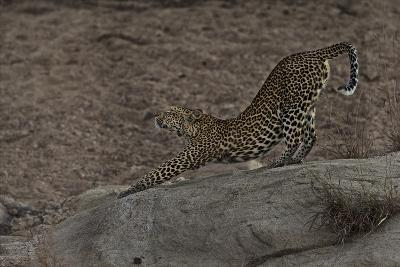 A Female Leopard Stretches in South Africa's Timbavati Game Reserve-Steve Winter-Photographic Print