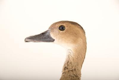 A Female Lesser Whistling Duck, Dendrocygna Javanica, at Sylvan Heights Bird Park-Joel Sartore-Photographic Print