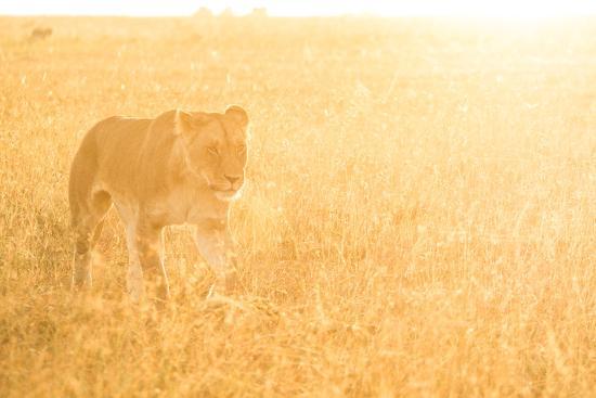 A Female Lion In The Warm Morning Light. Location: Maasai Mara, Kenya-Axel Brunst-Photographic Print
