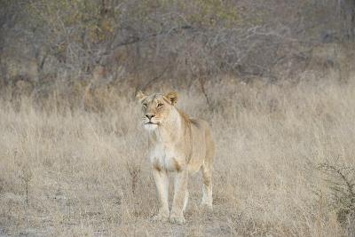 A Female Lion, Panthera Leo, Standing In The Dry Grass-Andrew Coleman-Photographic Print
