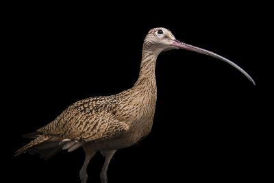 A Female Long Billed Curlew, Numenius Americanus, at the Tracy Aviary.-Joel Sartore-Photographic Print