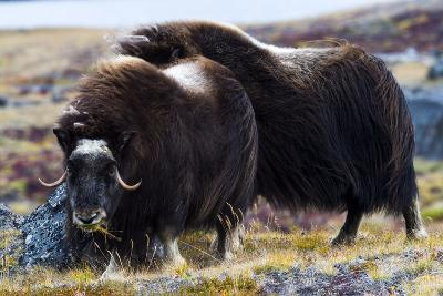 A Female Musk Ox Grazing on Grasses on the Tundra-Jason Edwards-Photographic Print