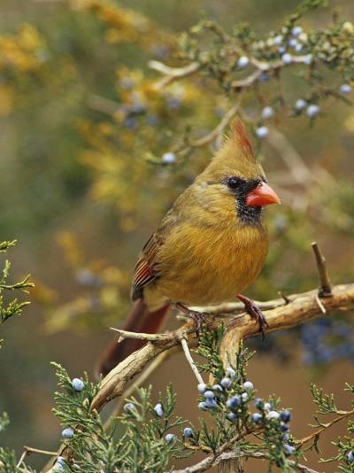 A Female Northern Cardinal (Cardinalis Cardinalis) in Red Cedar, Eastern North America-Steve Maslowski-Photographic Print