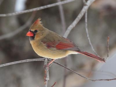 https://imgc.artprintimages.com/img/print/a-female-northern-cardinal-cardinalis-cardinalis-perched-on-a-limb_u-l-phumaf0.jpg?p=0