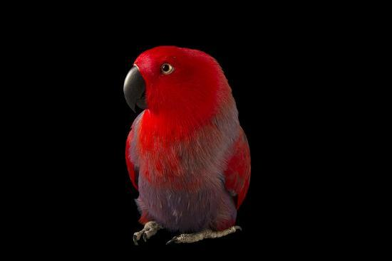 A Female Northern Eclectus Parrot, Eclectus Roratus Vosmaeri, at the Palm Beach Zoo-Joel Sartore-Photographic Print