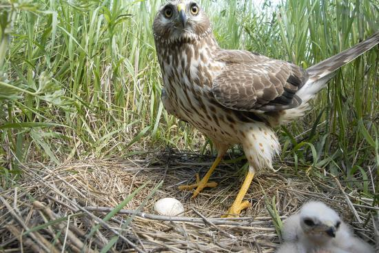 A Female Northern Harrier Hawk with a Chick and an Egg in Her Nest-Michael Forsberg-Photographic Print