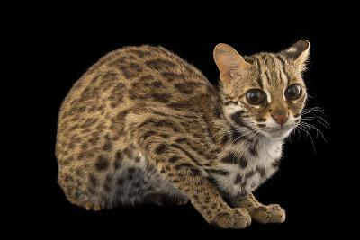 A Female, One-Year Old Leopard Cat, Prionailurus Bengalensis Chinensis-Joel Sartore-Photographic Print