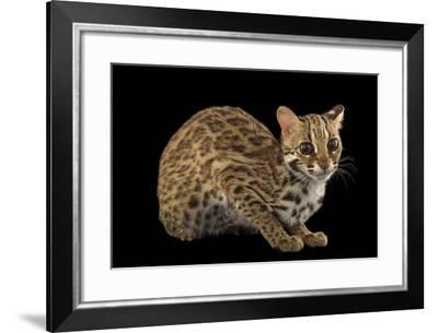 A Female, One-Year Old Leopard Cat, Prionailurus Bengalensis Chinensis-Joel Sartore-Framed Photographic Print