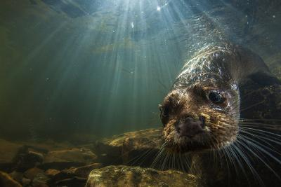A Female Otter Swims in a River in Western England-Charlie Hamilton James-Photographic Print