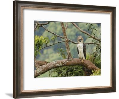A female Philippine eagle perches on a branch beside her nest-Klaus Nigge-Framed Photographic Print