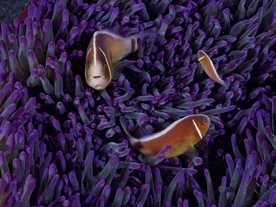 A Female Pink Clownfish Asserts Her Dominance Over a Mature Male-David Doubilet-Photographic Print