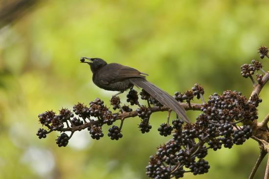 A Female Plumaged Huon Astrapia Bird of Paradise Feeds On Schefflera Fruit-Tim Laman-Photographic Print