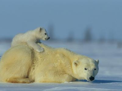 A Female Polar Bear Rests on the Ice While Her Cub Nestles on Her Back-Norbert Rosing-Photographic Print