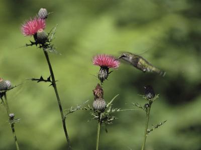 A Female Ruby-Throated Hummingbird Sips Nectar from a Thistle-Annie Griffiths Belt-Photographic Print