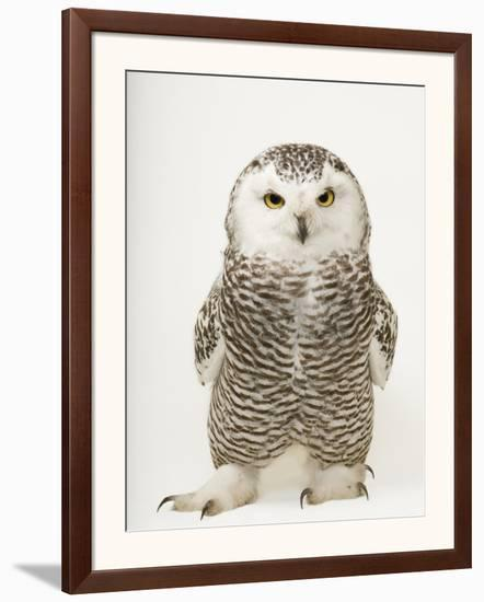 A Female Snowy Owl, Bubo Scandiacus, at Raptor Recovery Nebraska-Joel Sartore-Framed Photographic Print