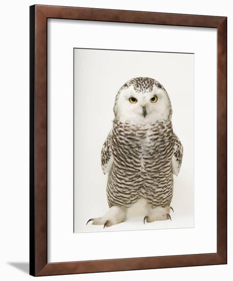 A Female Snowy Owl, Bubo Scandiacus, at Raptor Recovery Nebraska-Joel Sartore-Framed Photographic Print
