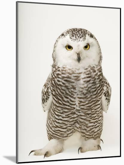A Female Snowy Owl, Bubo Scandiacus, at Raptor Recovery Nebraska-Joel Sartore-Mounted Photographic Print