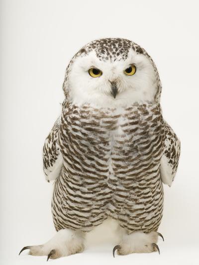 A Female Snowy Owl, Bubo Scandiacus, at Raptor Recovery Nebraska-Joel Sartore-Premium Photographic Print