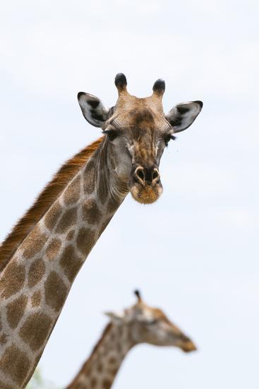 A Female Southern Giraffe, Giraffa Camelopardalis, Looking at the Camera-Sergio Pitamitz-Photographic Print