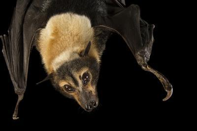 A Female Spectacled Flying Fox, Pteropus Conspicillatus, at the Lubee Bat Conservancy-Joel Sartore-Photographic Print