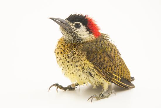 A female spot breasted woodpecker, Colaptes punctigula-Joel Sartore-Photographic Print