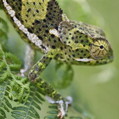 A Female Two-Horned Chameleon in the Amani Nature Reserve-Nigel Pavitt-Photographic Print