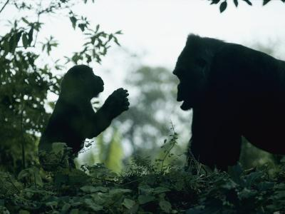 A Female Western Lowland Gorilla Appears to Be Teaching Her Youngster-Jason Edwards-Photographic Print