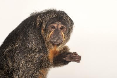 A Female White-Faced Saki Monkey, Pithecia Pithecia, at the Kansas City Zoo-Joel Sartore-Photographic Print