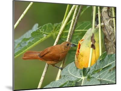 A Female White-Lined Tanager, Tachyphonus Rufus, Eating a Papaya-George Grall-Mounted Photographic Print