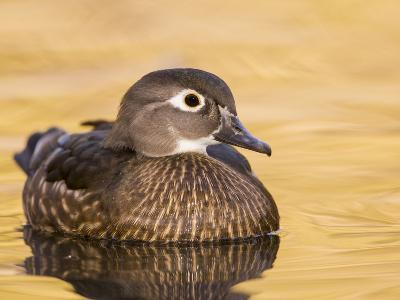 A Female Wood Duck (Aix Sponsa) on a Small Pond in Southern California.-Neil Losin-Photographic Print