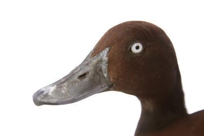 A Ferruginous Duck, Aythya Nyroca, at the Palm Beach Zoo-Joel Sartore-Photographic Print