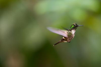 A Festive Coquette, Lophornis Chalybeus, in Flight in the Atlantic Rainforest-Alex Saberi-Photographic Print