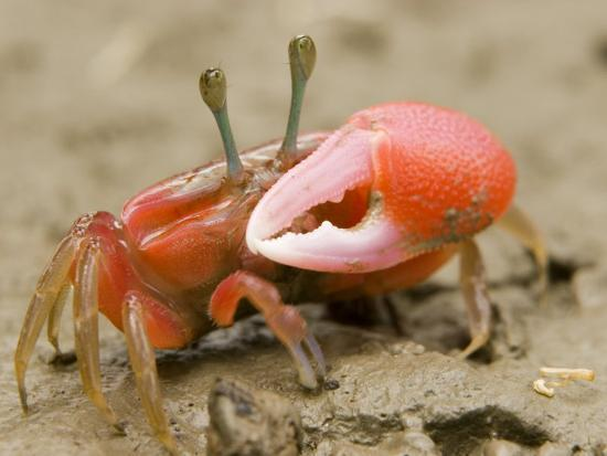 A fiddler crab forages on the mangrove mudflats at low tide-Tim Laman-Photographic Print