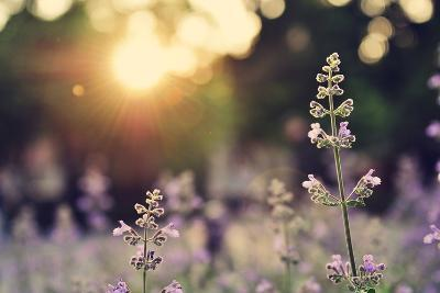 A Field of Lavender Flowers during Sunset in New York City-Jiyang Chen-Photographic Print