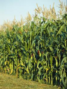 A Field of Mature Cornstalks Ready for Harvest
