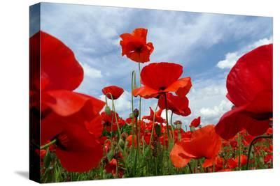 A Field of Red Poppies in Bloom under a Cloud-Filled Sky-Amy & Al White & Petteway-Stretched Canvas Print