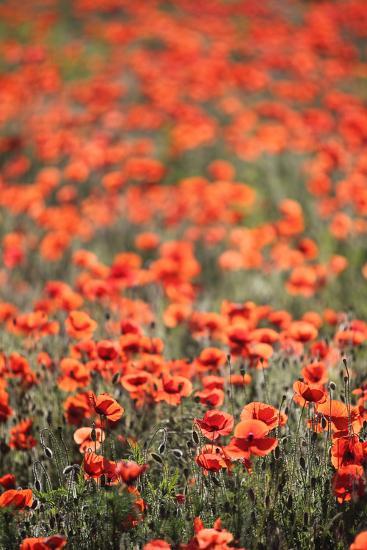 A Field Of Red Poppy, Papaver Rhoeas-Jozsef Szentpeteri-Photographic Print