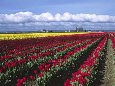 A Field of Tulips with Stormy Skies, Skagit Valley, Washington, Usa-Charles Sleicher-Photographic Print