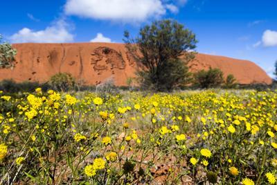 https://imgc.artprintimages.com/img/print/a-field-of-yellow-schoenia-ayersii-flowers-carpet-the-desert-at-the-base-of-uluru_u-l-pu6jv40.jpg?p=0