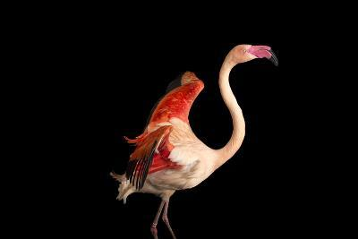 A Fifteen Year Old Greater Flamingo, Phoenicopterus Roseus.-Joel Sartore-Photographic Print