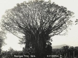 A Fine Banyan Tree, Apia, Samoa