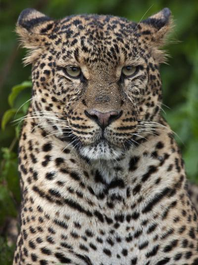 A Fine Leopard Oblivious to Light Rain in the Salient of the Aberdare National Park-Nigel Pavitt-Photographic Print