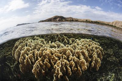 A Fire Coral Colony Grows in Komodo National Park-Stocktrek Images-Photographic Print