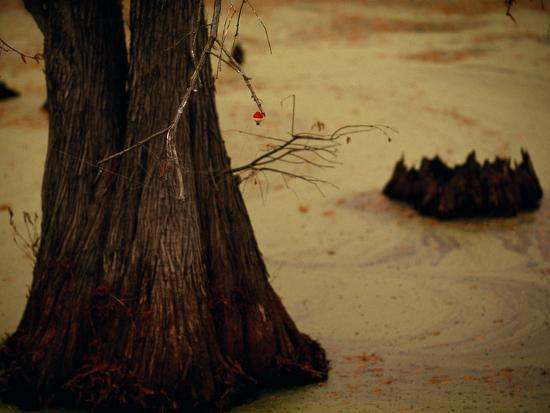 A Fishing Bobber Caught in the Branches of a Cypress Tree-Raymond Gehman-Photographic Print