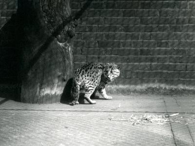 A Fishing Cat at London Zoo, July 1921-Frederick William Bond-Photographic Print